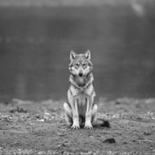 one man wolf pack!