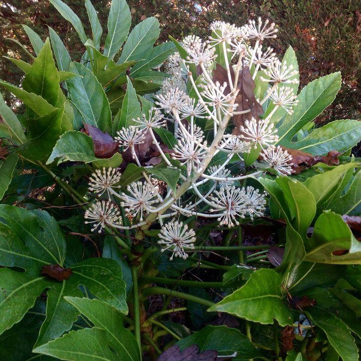 BeautifulFatsia japonica looking stunning n the winter #garden