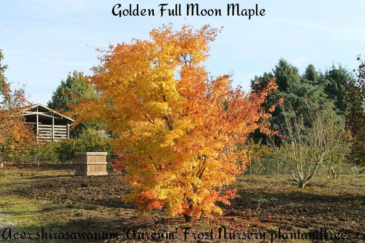 Golden Full Moon Maple Acer shriasawanum 'Aureum'