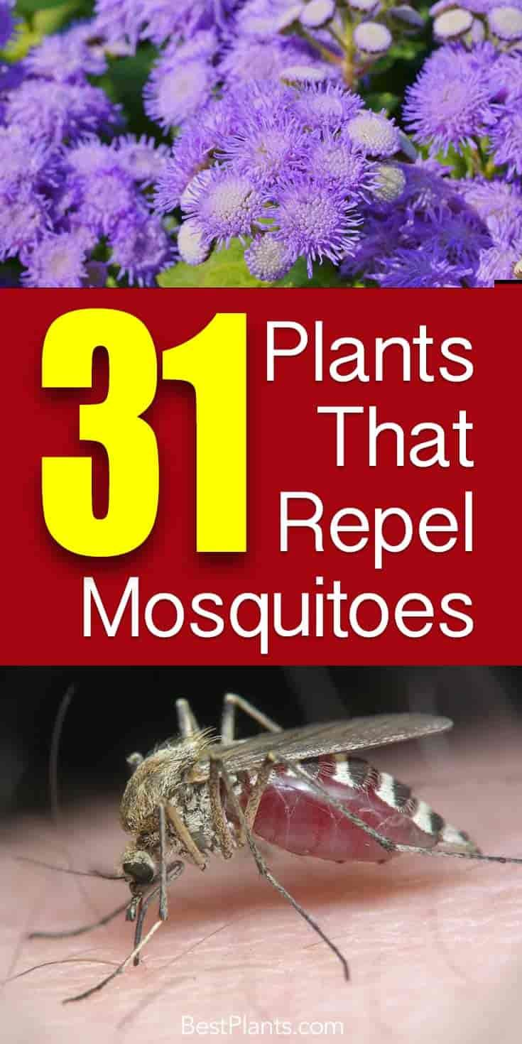 A collection of 31 mosquito repellent plants, lemongrass, lavender, lemon balm, along with others to grow in pots plant in the landscape - [LEARN MORE]