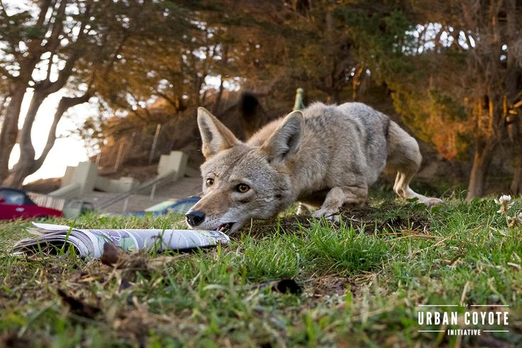 A San Francisco coyote and a newspaper delivery man come up with a mutually beneficial solution to thievery.