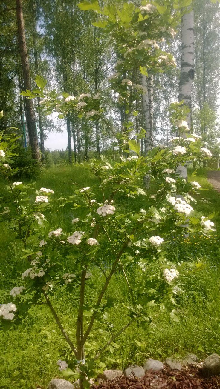 Helmiorapihlaja kukkii ensimmäisen kerran.