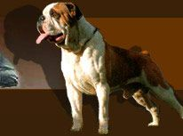 Bulldog breeds. The different types of bulldogs.
