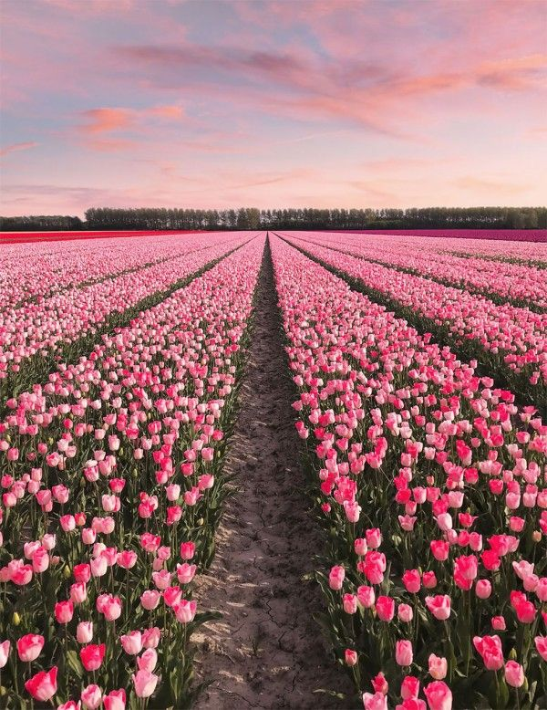 The Netherlands When All 7 Million Tulips Bloom At Once Ego Alterego Flowers Photography Tulips Garden Nature Aesthetic
