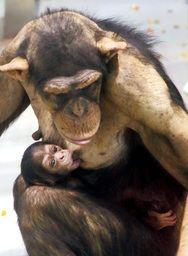 北海道のおびひろ動物園でチンパンジーの雌の赤ちゃんが誕生 チンパンジーの繁殖は初めてなんだとか 母親に抱きかかえられ乳房をくわえたり甘えたりする愛くるしい姿を見せているらしいですよ() すでに公開されているのでぜひ会いに行ってみてね tags[北海道]