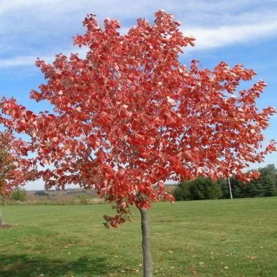 OnlinePlantCenter 5 gal. Red Sunset Maple Tree-A3812G5 - The Home Depot