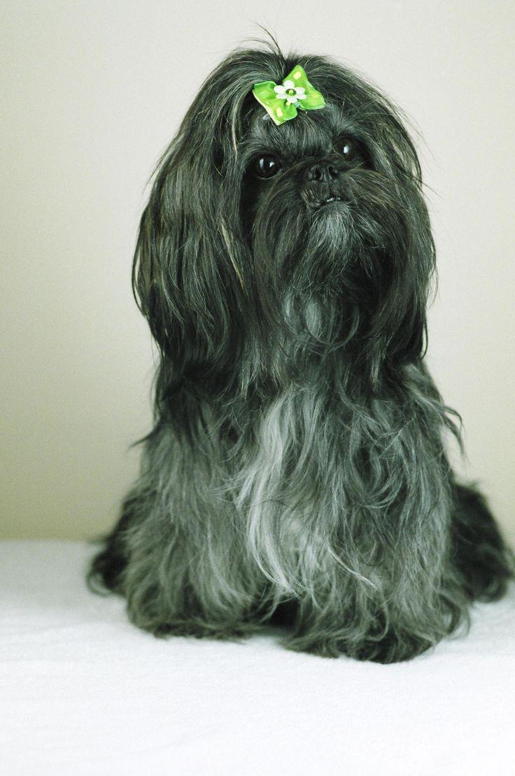 My sister Emi :)   #shihTzu #dog #thebest #photosession