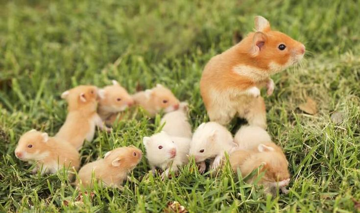 Syrian hamster mother with swarm of babies