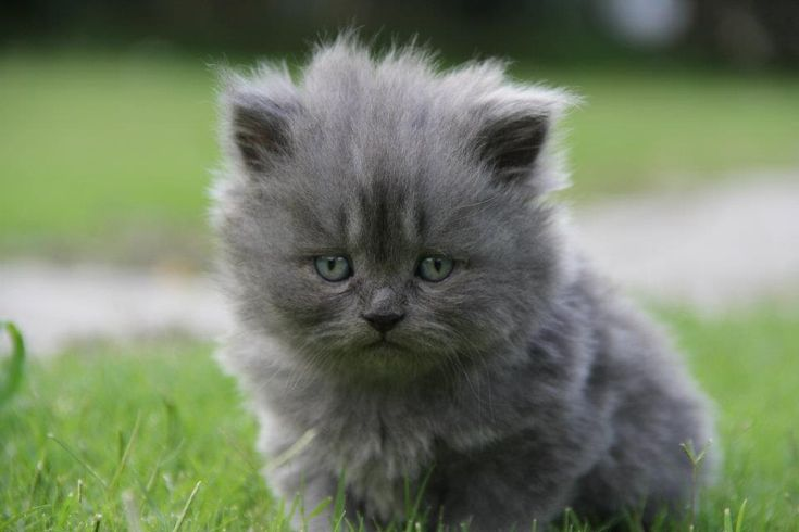 persian kittens | Ladies Korner: Grey persian kittens for ...