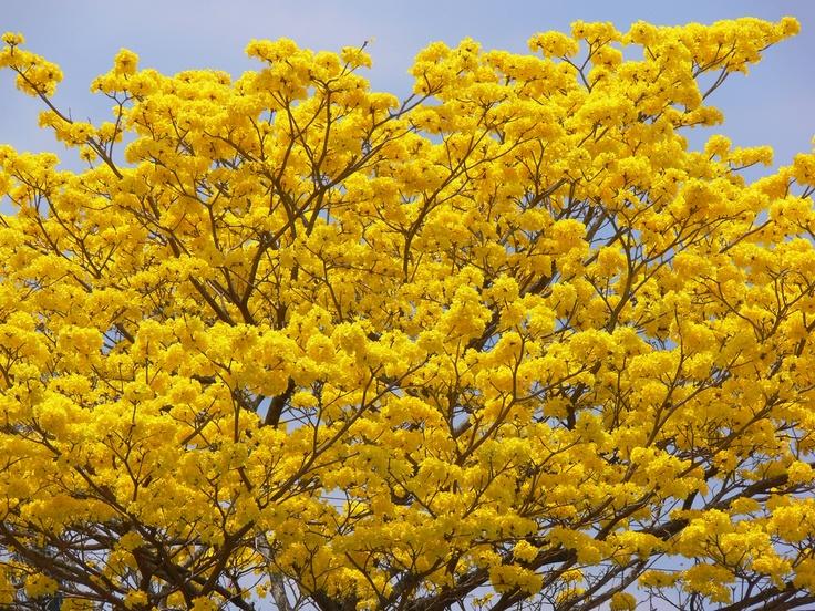 Araguaney tree (Tabebuia chrysantha)