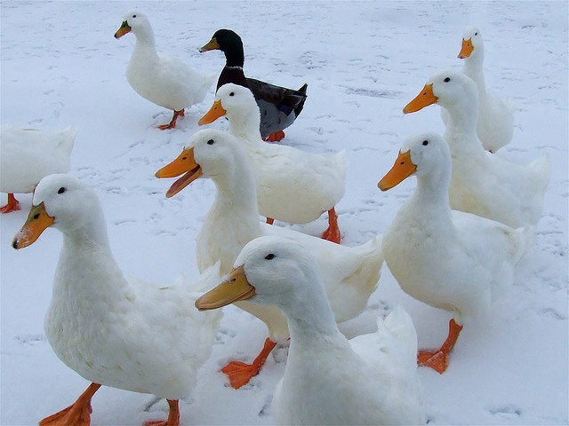 Always wanted big white fluffy ducks.