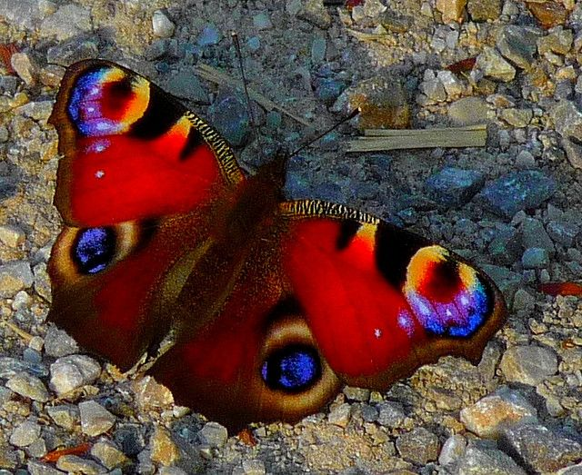European peacock butterfly (Inachis Io), photo by Claude@Munich