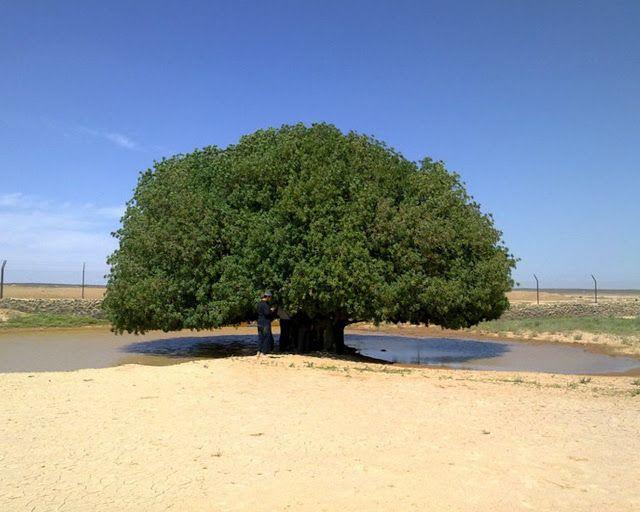تناقل رواد التواصل الاجتماعي عبر الفيسبوك وتويتر والواتسآب فيديو لشجرة في وسط صحراء قاحلة علي أنها شجرة الطائف التي أستظل بها Tree Country Roads Places To See