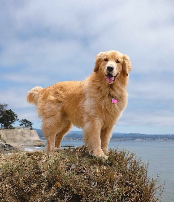 Pin By Indeed Sabrina On December 2019 Dogs Golden Retriever