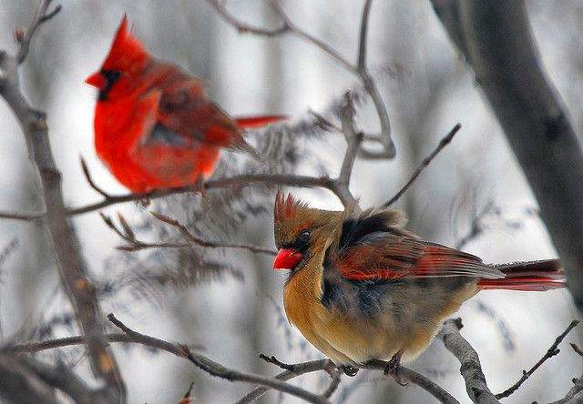 http://www.flickr.com/photos/stevewall/364991441/  a gorgeous picture of cardinals by steve on flicker