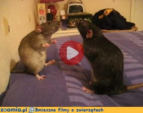 Szczura bitwa Śmieszne Filmy Inne zwierzęta http://Zoomia.pl