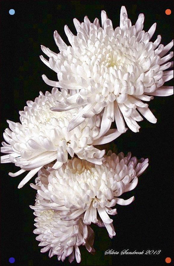 Pin By Stole Mihajlov On Krizantemi In 2020 White Chrysanthemum Chrysanthemum Flower Chrysanthemum