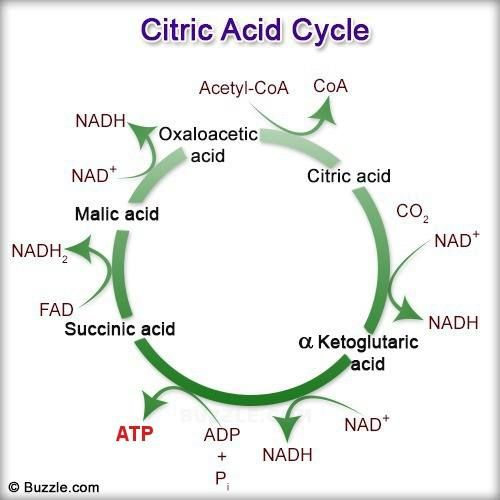 42 best Citric Acid Cycle images on Pinterest