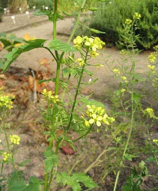 Список растений-сидератов для плодородия почвы | Дача - впрок