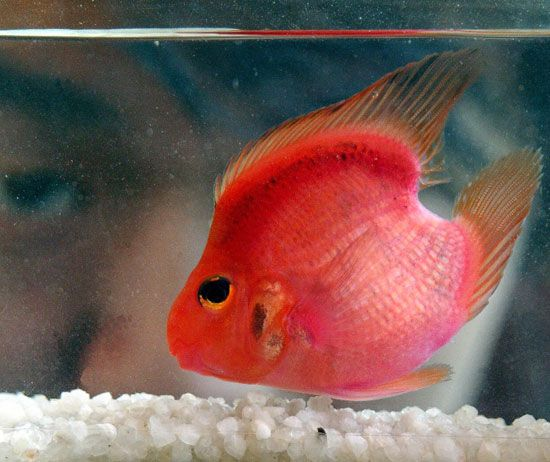 One heart blood parrot fish world heart and sea world for Blood parrot fish