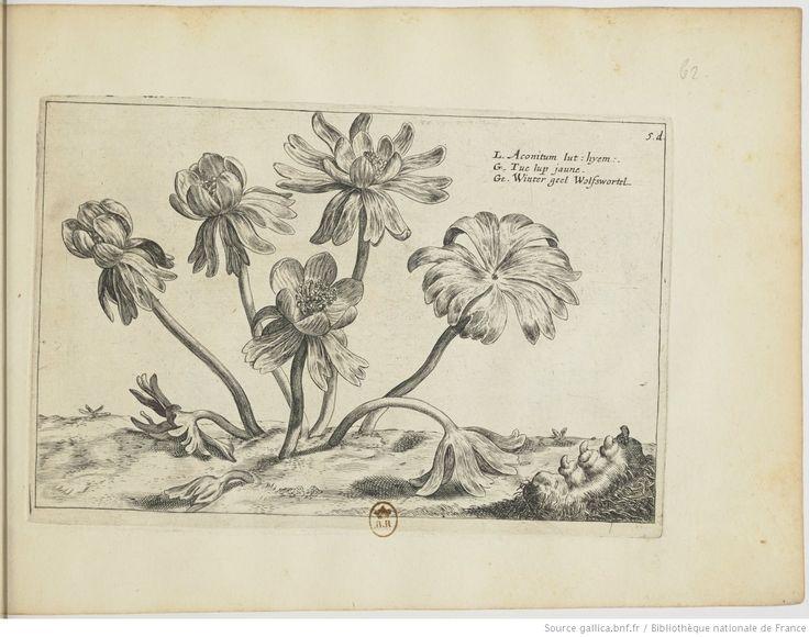 [Aconit tue-loup]; Hortus Floridus : in quo rariorum & minus vulgarium Florum icones ad vivam veramque formam / Crisp: Passei junioris, 1614