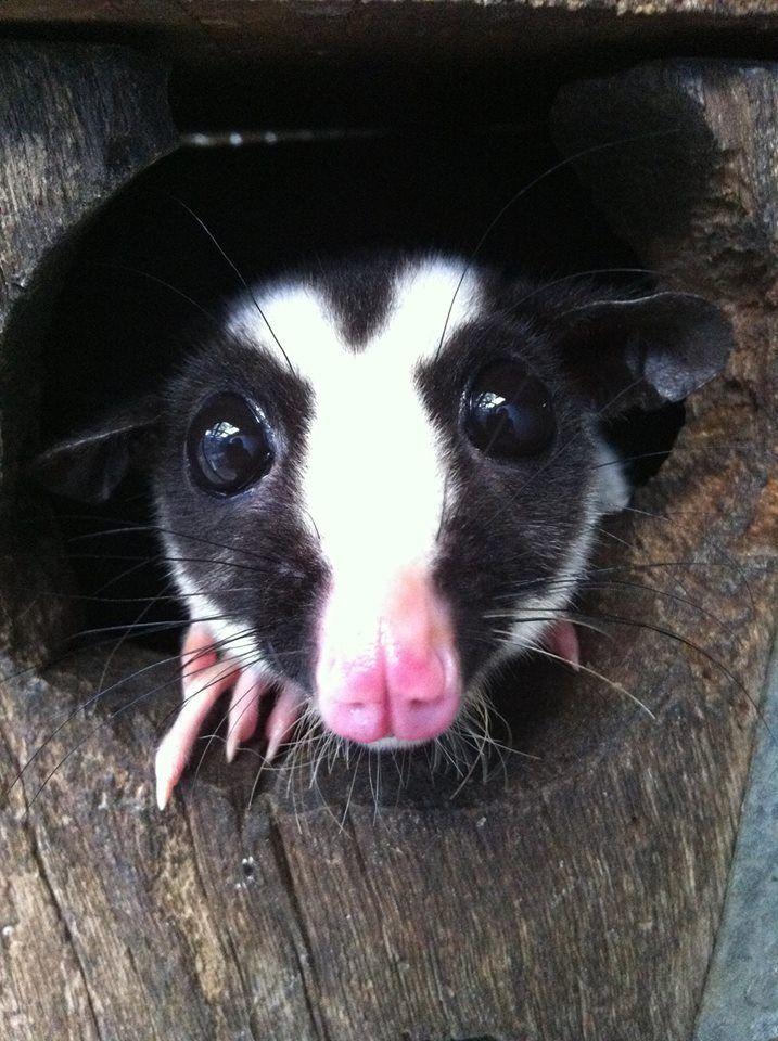 Striped 'glider' possum  (Dactylopsila trivirgata)  uncommon and rarely seen even in native Australian habitat