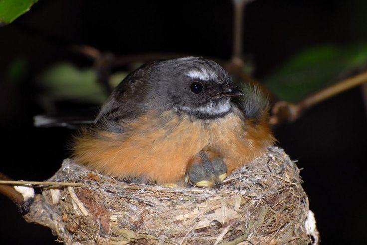 http://nzbirdsonline.org.nz/species/new-zealand-fantail