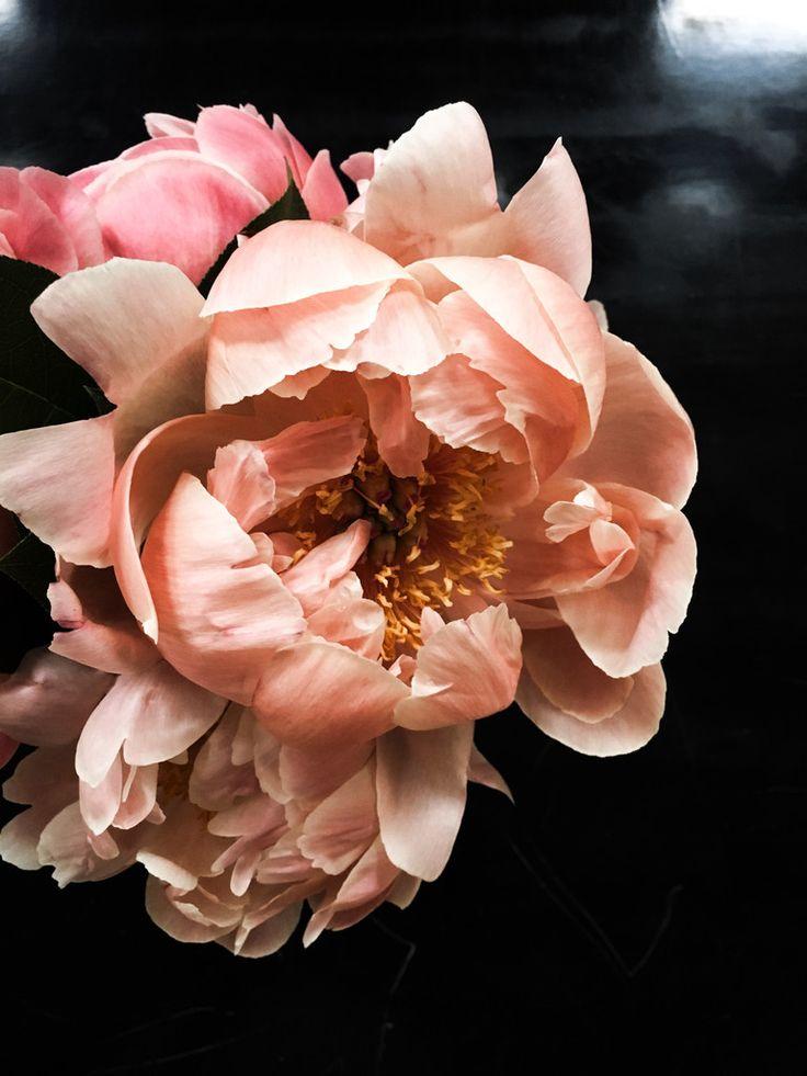 Best 25 Peach Peonies Ideas On Pinterest