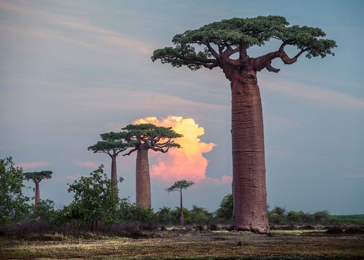 星の王子様の世界が広がるマダガスカルの巨樹『バオバブ並木道』 | wondertrip
