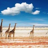giraffe high resolution new wide wallpapers for desktop free
