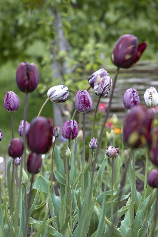 Mixed 'Breeder' or 'Broken' tulips from Arne's Journal Photo by Britt Willoughby Dyer