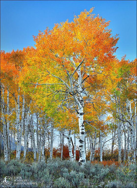 ~~Blazing Aspens ~ autumn in Grand Teton National Park, Wyoming by Zack Schnepf~~