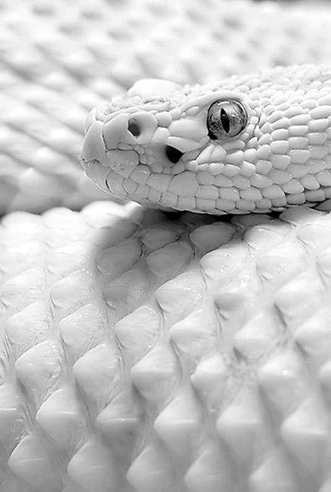 Poisonous Snake Bites wallpaper.