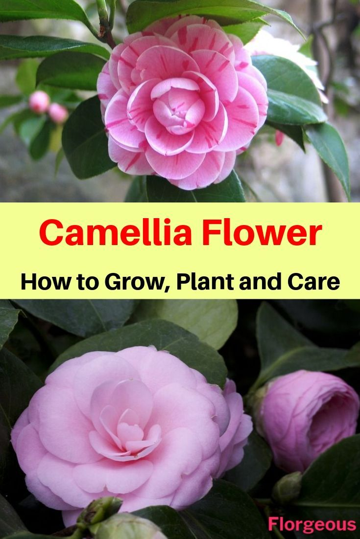 Bwisegardening Winter Roses Camellias For Zones 6 Winter Rose Winter Flowers Rose