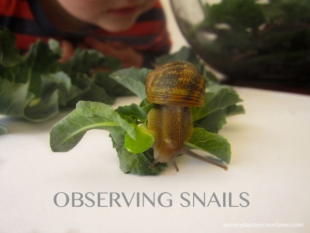 "Reggio science activities - observing snails {An Everyday Story}  I love this idea of having ""visiting friends"" that stay with you for a few days so you can watch and learn from them, then you put them back outside where they came from."