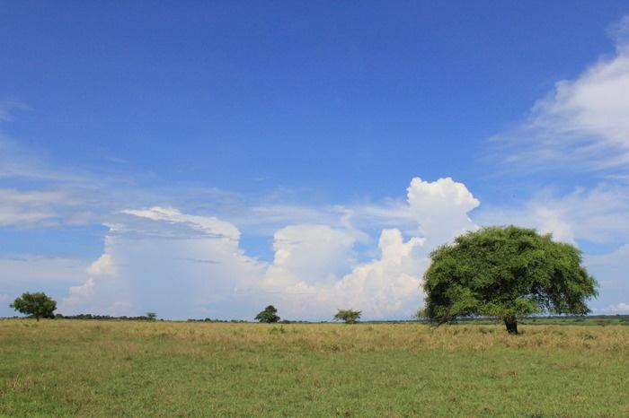Green horizon: The normally yellowish Baluran savanna turns green during the rainy season. (Photo by Hanna Nabila).