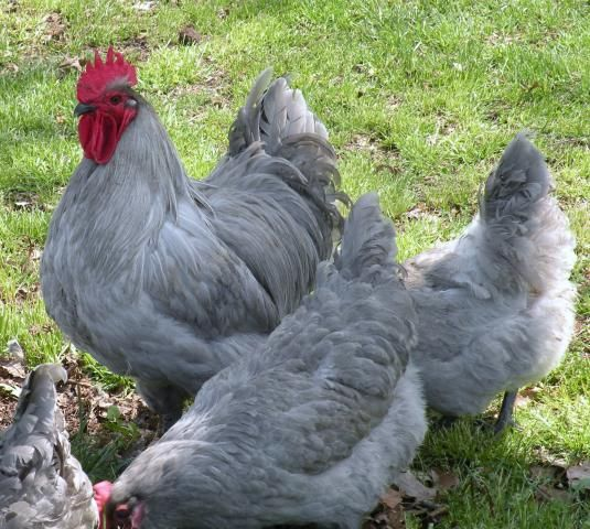 Lavender Orpingtons | Cooped Up | Pinterest | Chicken breeds, Fancy chickens  and Hens - Lavender Orpingtons Cooped Up Pinterest Chicken Breeds, Fancy