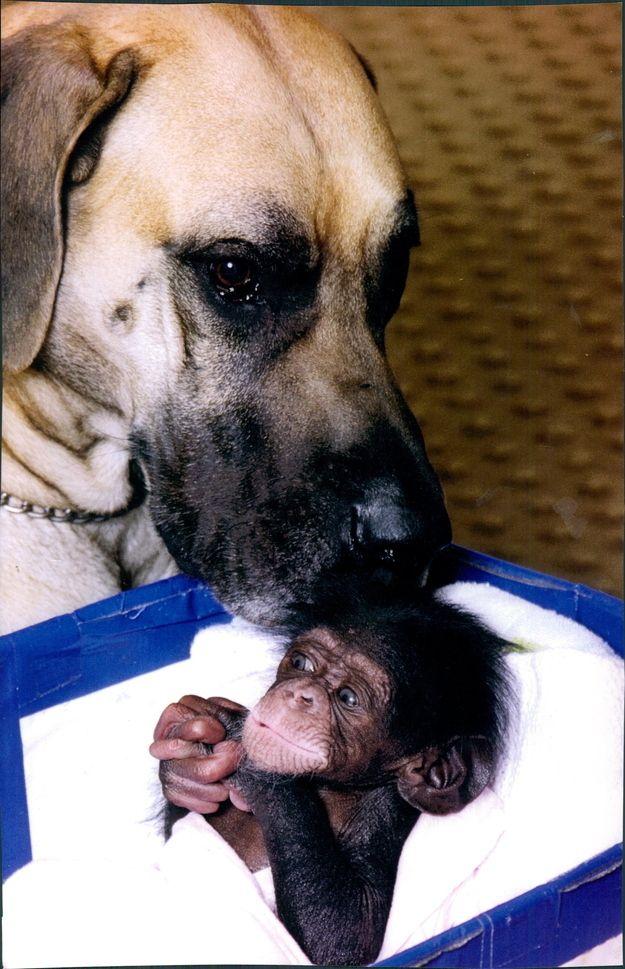グレートデーンとチンパンジーの赤ちゃん | 動物たちの愛情は相手を選ばない。19の証拠写真