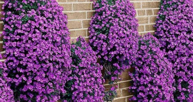 longos Mantem flores durante quase todo ano É cultivada a pleno sol