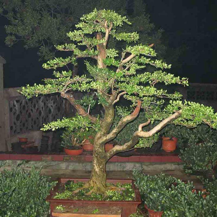 Горшках Buxus Дерева Семена Сад и Терраса Древесный Многолетнее Семян Китайский Самшит Семена 120 ШТ.