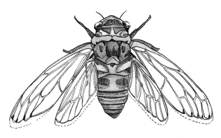 cicada drawing | cicada by nawafiai traditional art drawings animals 2013 2014 nawafiai
