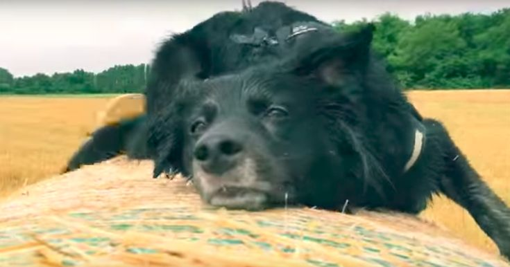 Sorry dog, playing on top of a bale of hay will never end well