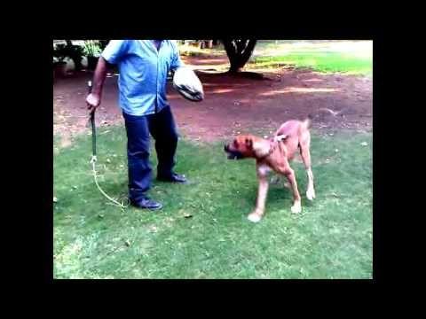 ▶ Razas de Perros Alano Español | El Alano Español en Razas de Perros - YouTube