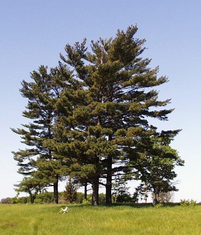 Ponderosa pine tree, mature, coconino national forest near flagstaff stock photo