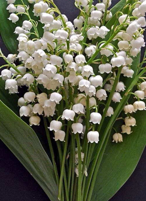 Bunch of Lily of The Valley flowers
