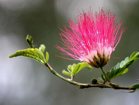 Grow your own Mimosa tree.  Heirloom 150 Seeds Albizia julibrissin Mimosa Tree by seedsshop, $1.79