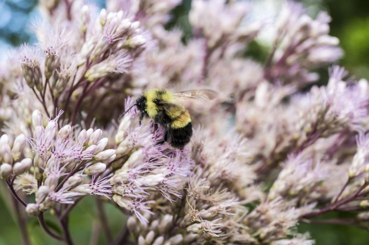 Victory! Critical Protections For Rusty Batched Bumble Bee   Help Wildlife, Protect the Environment, Support Nature Conservation, Save the Planet