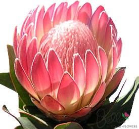 Make a statement in your wedding flowers with exotic, tropical Pink Duke Protea flowers. Protea are very on-trend as a textural element in modern/vintage bridal bouquets. Pink Duke protea have large heads with a crown of petals that curve gracefully over a soft pink, domed fuzzy center. Please Note: Seasonally available for delivery between January and May. $85