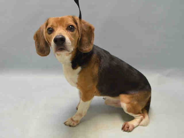 04/25/2016 ★SUPER URGENT★ TAZ - #A1071287 - Brooklyn NYC TO BE DESTROYED. I AM A MALE TRICOLOR BEAGLE MIX, 8 years old. Examination request needed urgently to determine health and temperament before adoption. OWNER SURRENDER EVALUATE, HOLD RELEASED Reason LLORDPRIVA - Intake 04/23/16 past Due Out 04/23/16.