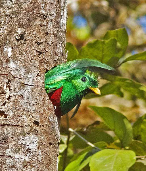 Quetzal Splendente (Pharomachrus mocinno) esce dal nido #Quetzal #AnimaliVolanti